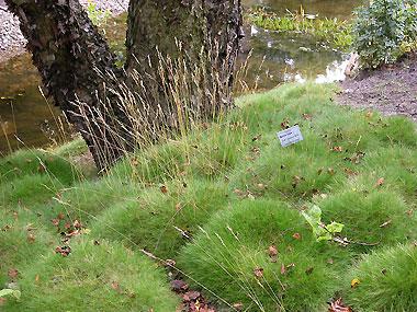 Gräser Immergrün sandfrauchen kleines gräserlexikon d l